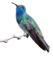 Colibri Esmeralda