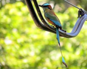 Guardabarrancos - Eumomota Superciliosa. una de las aves mas bellas de Honduras, representa el logo de la ASHO. fotografía por Oliver Komar