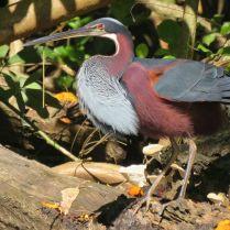 Agami Heron / Garza panza castalla (Agami agami). Fotografía cortesía de Jafeth Zablah,