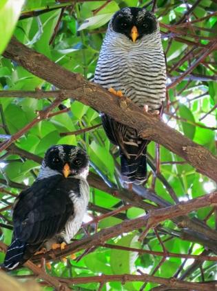 Black-and-white Owl / Búho negro y blanco ( Ciccaba nigrolineata) Fotografía cortesía de Jafeth Zablah,