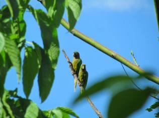 Perico cuello olivo. Fotografía de Mayron Mejía.