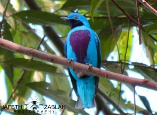 Lovely Cotinga / Cotinga bella (Cotinga amabilis), ave insignia del club Cotinga. Foto cortesía de Jafeth Zablah.
