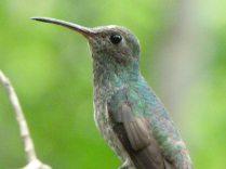 Colibri Esmeralda Hondureño. Población no conocida de la especie y descubierta en 2013 en las afueras de Gracias, Lempira