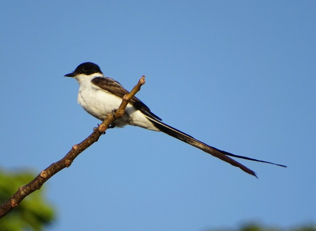 Fork-tailed Flycatcher by Norman Espinoza