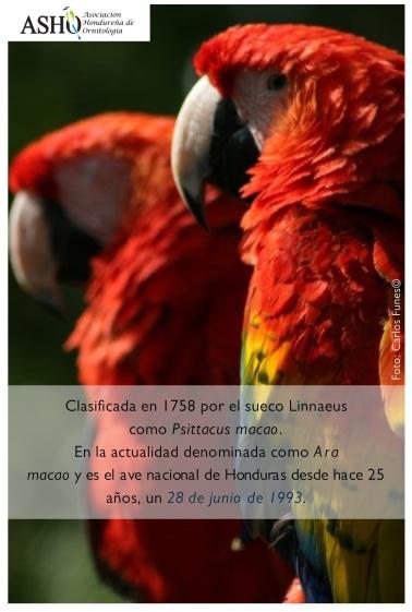 Ara macao (Ave nacional de Honduras)