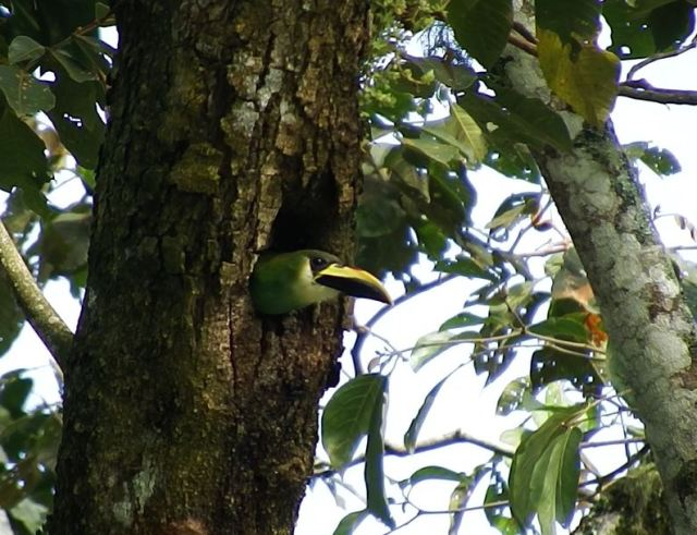 Northern Emerald Toucanet 2