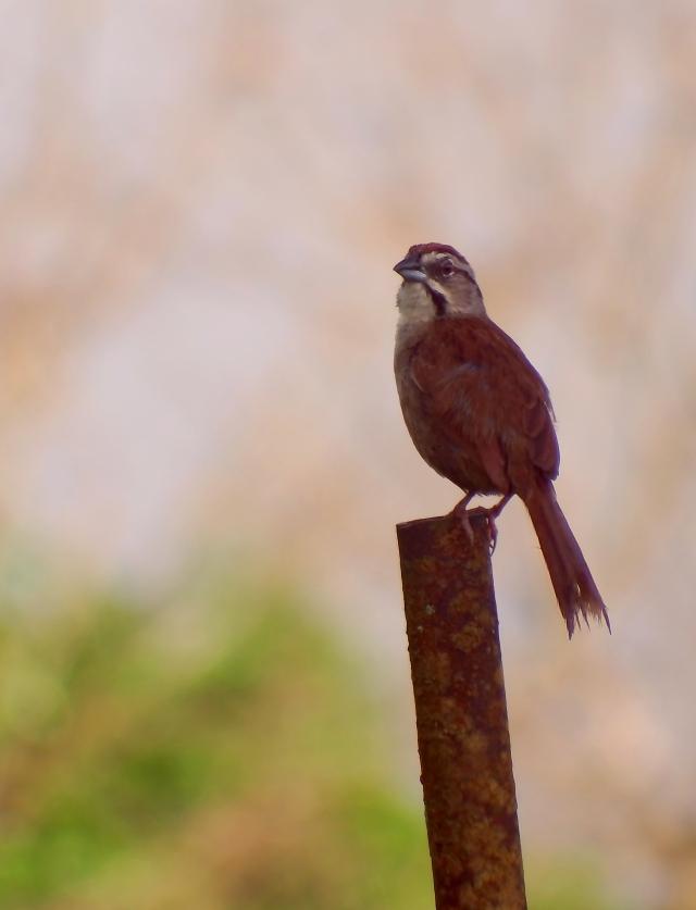 Rusty Sparrow 3